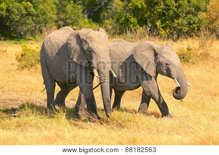 Elephants In Masai Mara