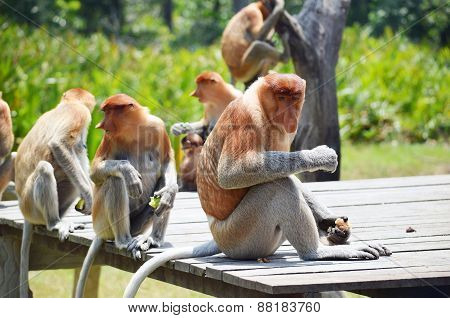 Proboscis monkeys endemic of Borneo