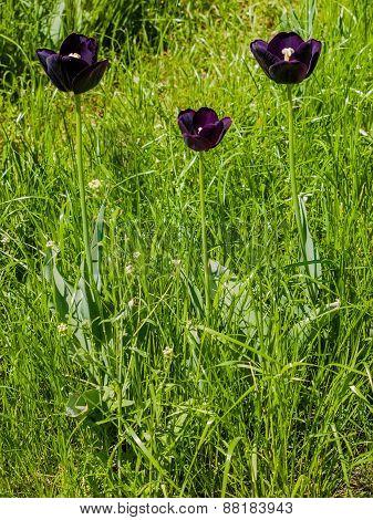 Three Dark Purple Tulips