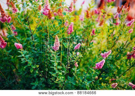 Pink Spirea Flowers On Bush At Spring