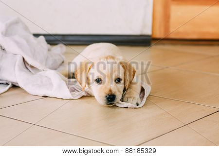 White Labrador Retriever Puppy Sit On Floor