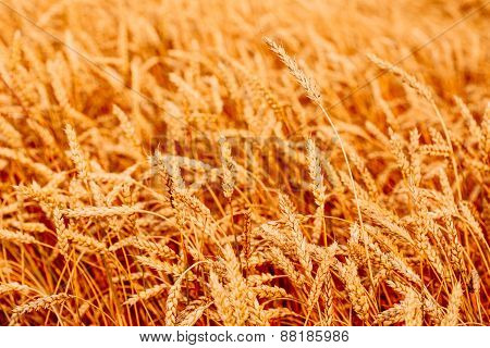 Yellow wheat ears