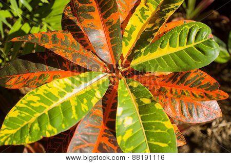 Variegated Croton