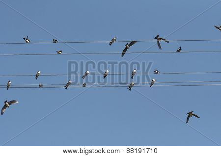 Swallows On Electric Wires