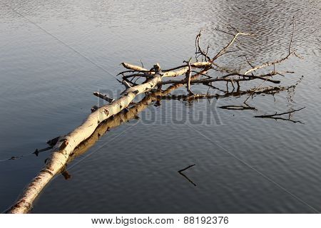 Floating birch