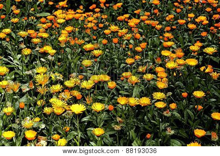 Background of flowers calendula using filter