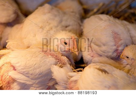 Chicken In Barn