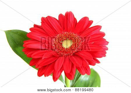Red Gerbera On White Background