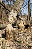 foto of beaver  - Tree in woods gnawed by beavers close - JPG