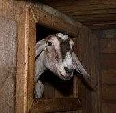 picture of nubian  - Nubian brown  nice thoroughbred female goat in barn - JPG