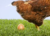 foto of egg-laying  - Brown hen laying egg on grass in Green field - JPG