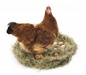 stock photo of laying eggs  - Brown hen with eggs on a white background - JPG