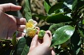 pic of fetus  - green tea plant flower and fetus on the plant in human hands - JPG