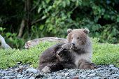 foto of grizzly bear  - Young grizzly Bear cub playing on a log - JPG