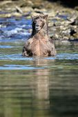 image of united we stand  - Grizzly Bear standing up in water - JPG