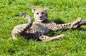 pic of cheetah  - A cheetah cub lying on the grass  - JPG