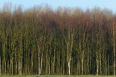 picture of birching  - View on Birch trees forest with blue sky above