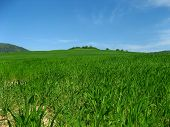 foto of corn stalk  - Growing corn field on the edge of the forest - JPG