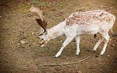 stock photo of  bucks  - Young male fallow deer buck at park - JPG