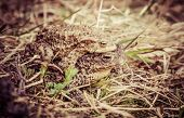 picture of copulation  - Mating frogs  - JPG