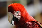 stock photo of green-winged macaw  - Portait of Red-and-green Macaw in Tambopata research centre, Peru