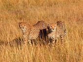 pic of cheetah  - Male cheetahs walking in grass and looking for pray in Masai Mara Kenya - JPG