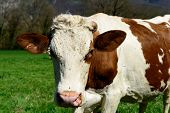 picture of cow head  - close up on the head of a cow in a meadow - JPG