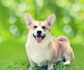 stock photo of corgi  - Happy dog Welsh Corgi Pembroke sitting on the grass in sunny summer day - JPG