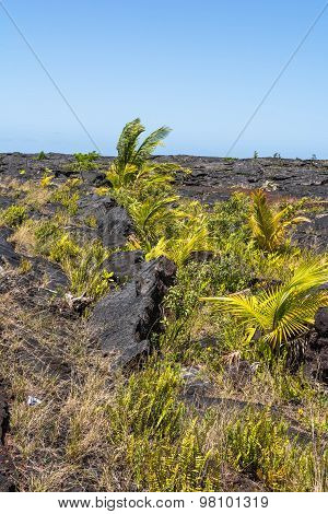 Vegetation on the lava field, Hawaii