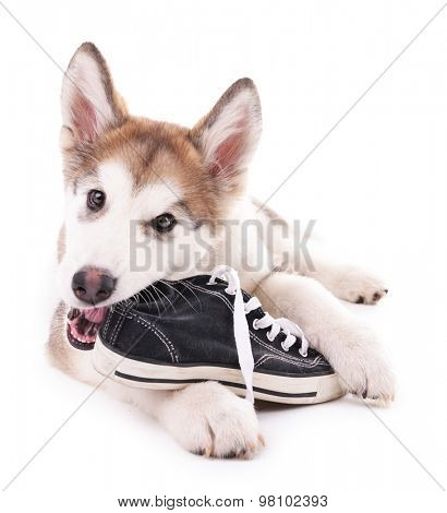 Cute Malamute puppy chewing gumshoes isolated on white