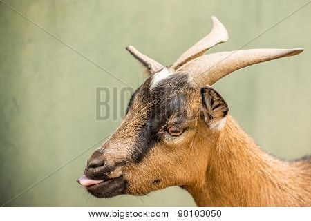 Portrait Of A Pygmy Goat