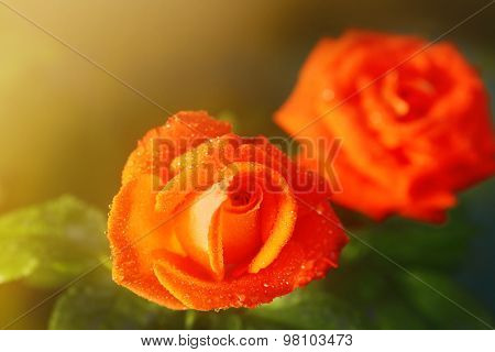 Beautiful bright rose in the garden