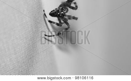 Huge house Spider on the white wall