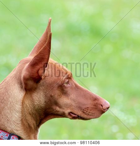 The Portrait Of Pharaoh Hound Puppy  On A Green Grass Lawn