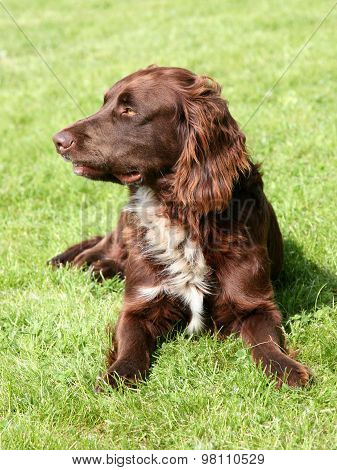The Portrait Of German Spaniel On A Green Grass Lawn