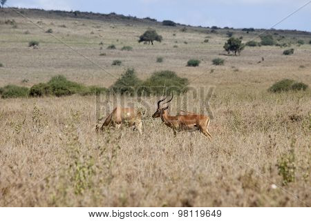 wild impalas in Nairobi National Park