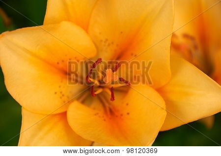 Close-up Photo Of Lily Flower