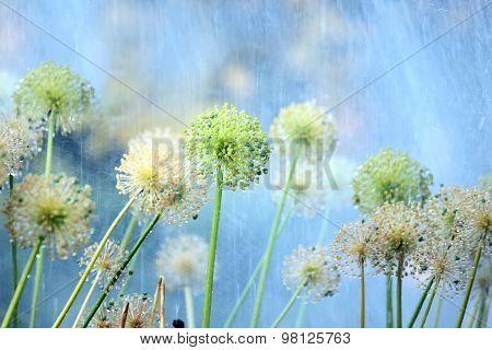 Flowers Of Onion Under Rain In The Garden