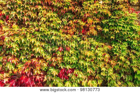 Autumn Background Wall Of Ivy Leaves