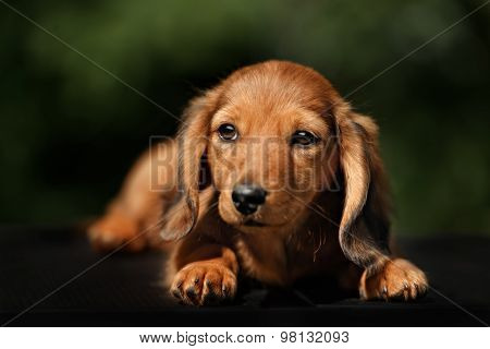 Close Up Portrate Of Red Longhear Dachshund