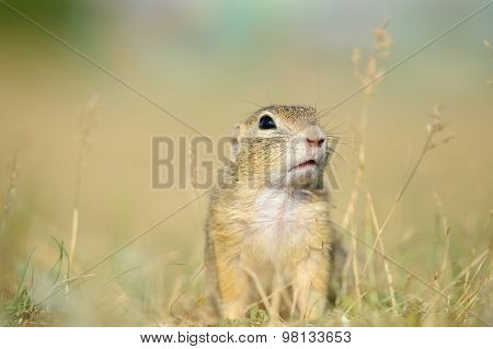 European Ground Squirrel From Close Front View