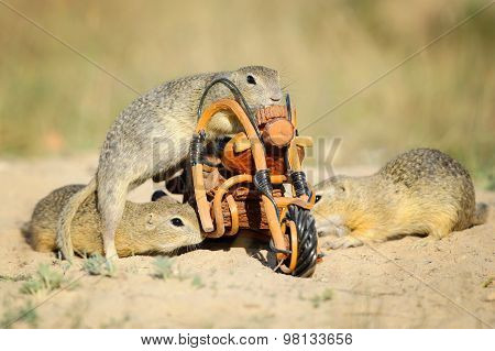 Group Of European Ground Squirrels And Wooden Bike Toy