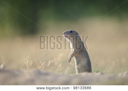 European Ground Squirrel Standing On The Ground