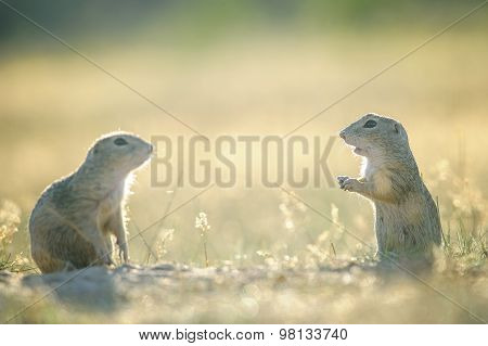 Two European Ground Squirrels Opposite To Them Selfs