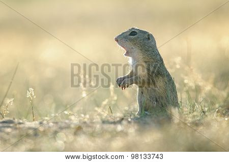 European Ground Squirrel With Open Mouth