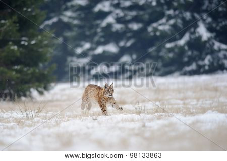 Running Eurasian Lynx Cub On Snowy Ground With Forest In Background