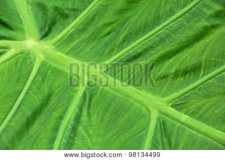 close up of elephant ear plant leaf