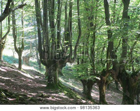Hayas en el bosque de Otzarreta, en Zeanuri  (Bizkaia).