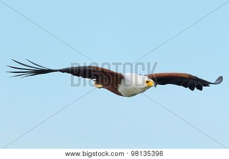Fish Eagle In Naivasha Lake