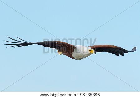 Fish Eagle In Naivasha Lake